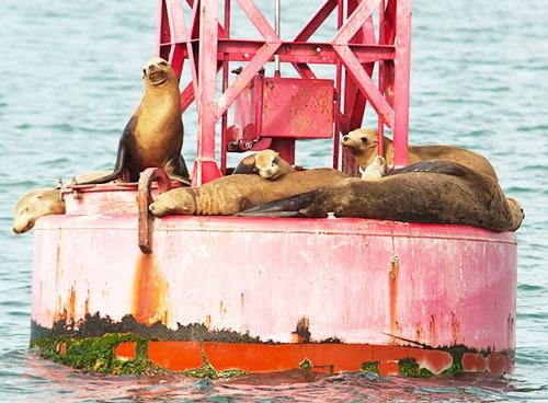 Sea Lions on Channel Marker