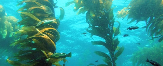 Kelp – Richest Beds on Earth off San Diego