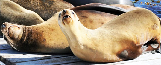 California Sea Lions are Dying