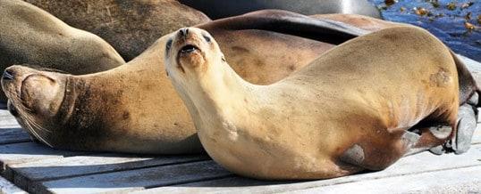 Sea Lions on San Diego Bay