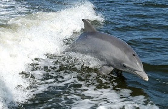 Bottlenose Dolphin Species
