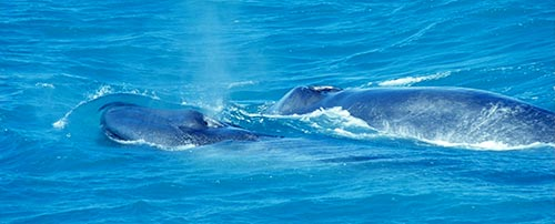 Blue Whales – Big Boats – Danger