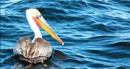 Brown Pelican on San Diego Bay