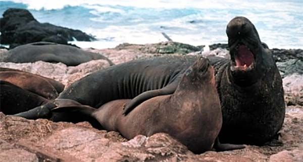 Elephant Seal with mate