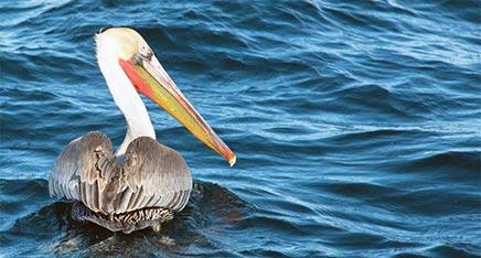 Pelican on San Diego Bay