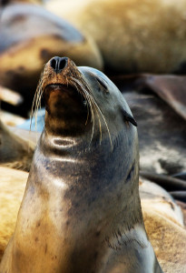 Pretty Sea Lion