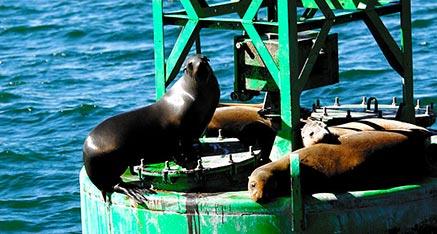 Sea Lions Channel Marker