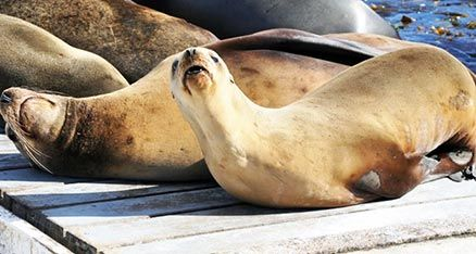 Sealions on the San Diego Bait Barge having a rest