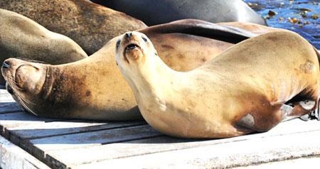 sea-lions-bait-barge
