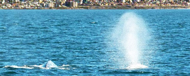 Gray Whale Sex Life – It Takes Three