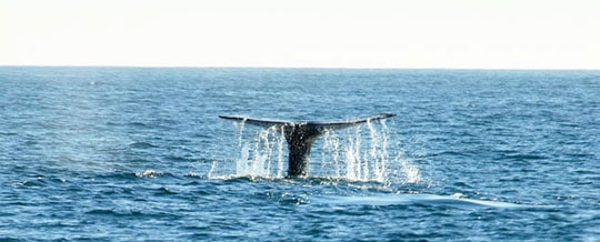 Impact on Whales – Humans are to Blame