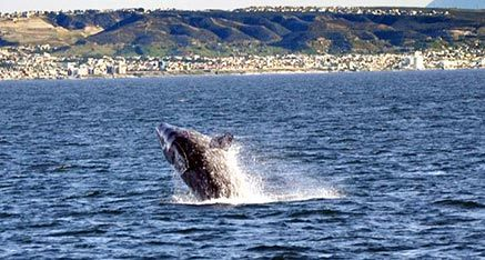 Gray Whale breaching off coast of San Diego