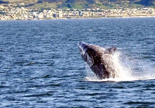 Gray Whale Breaching off San Diego Coast