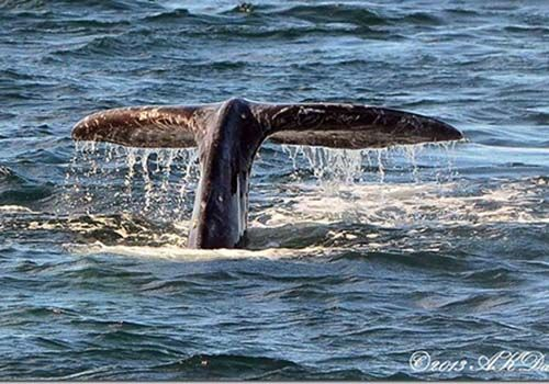 Gray Whale Tail Taken on Charter