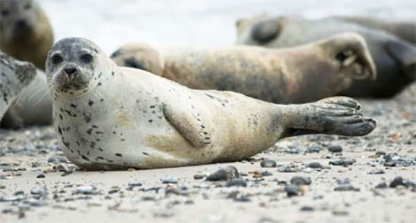 Pacific Harbor Seals