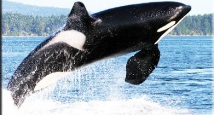 Orca Whale ( Killer Whale )
